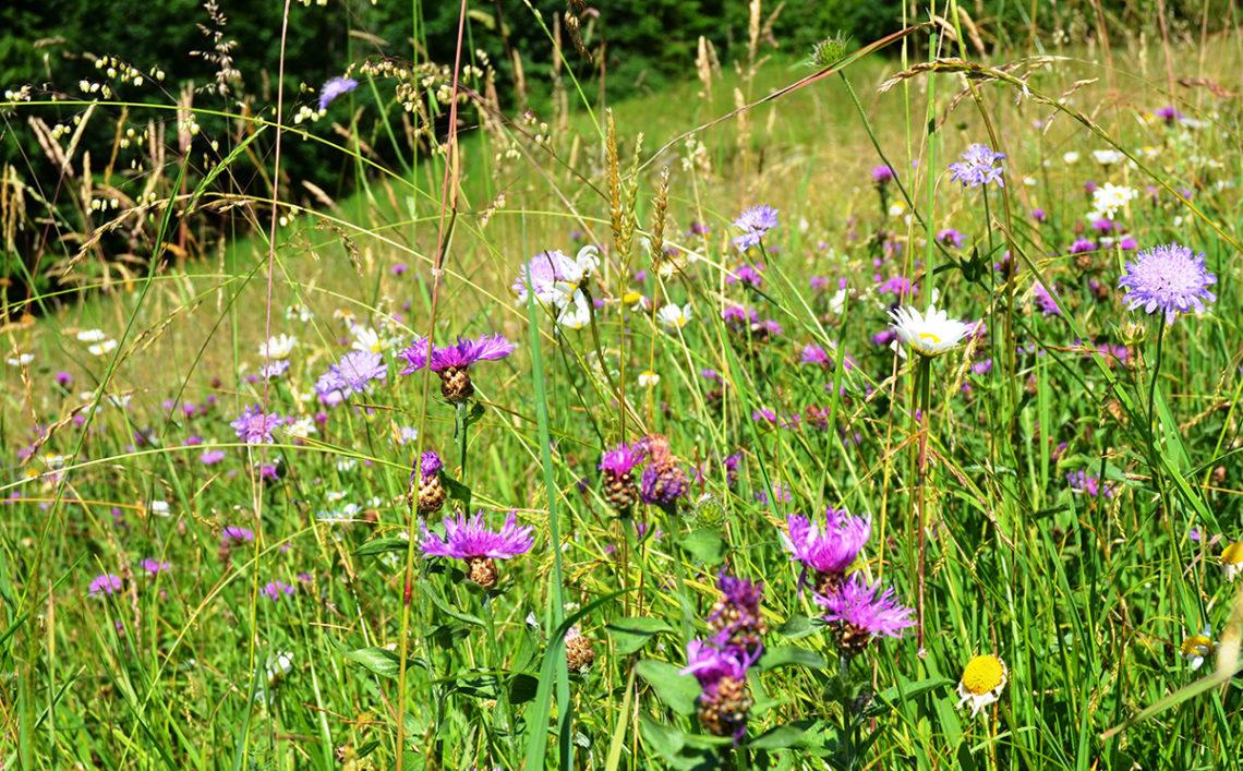 Artenreiche Berg-Mähwiese mi Margeriten, Wiesen-Witwenblumen, Wiesen-Flockenblumen © Tanja Maurer