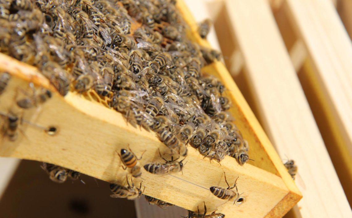Ein Bienenvolk mit markierter Königin