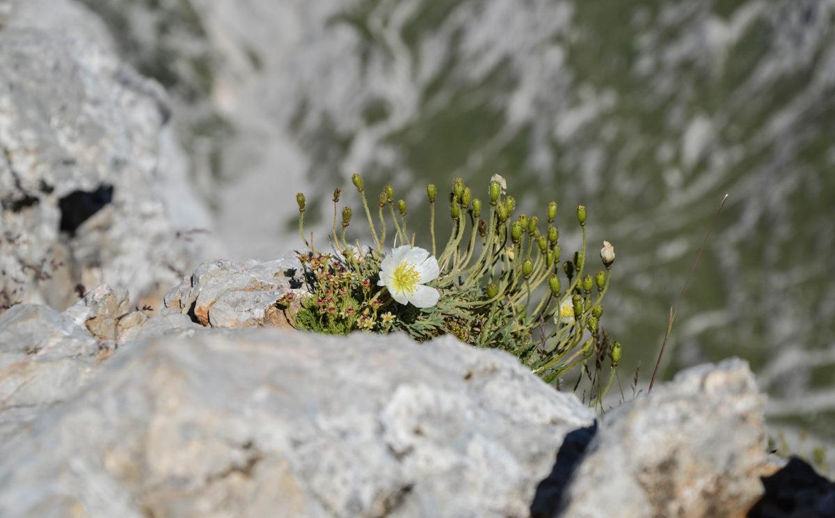 Blume am Hundstod Gipfel