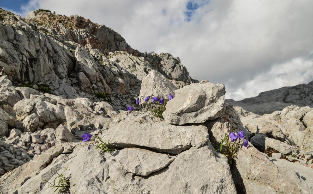 Blumen im Steinernen Meer