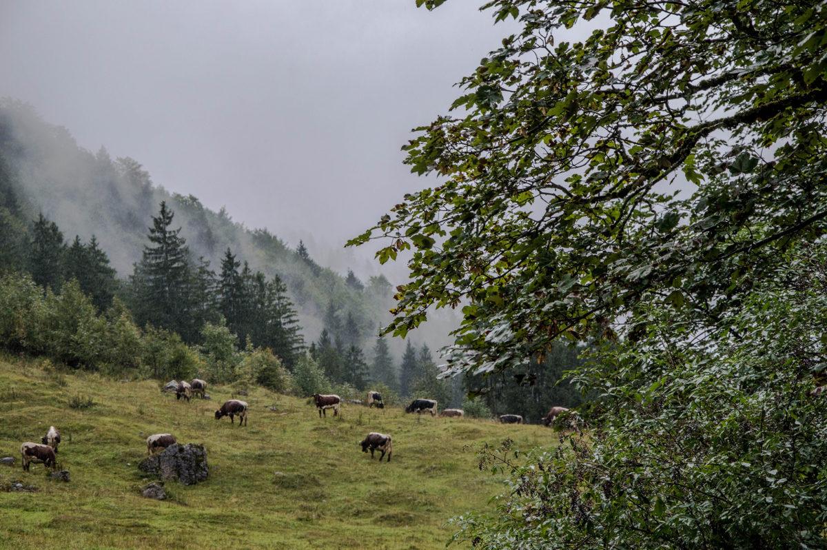 Die Kühe weiden auf der Schwarzbachalm