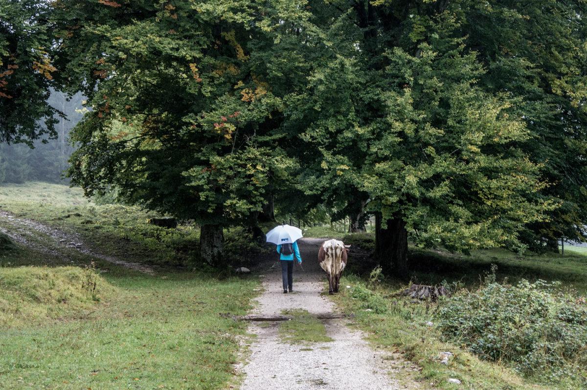 Regenspaziergang mit Kuh