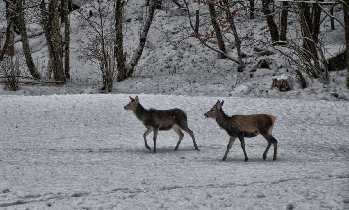 Rotwild in der Fütterung im Klausbachtal