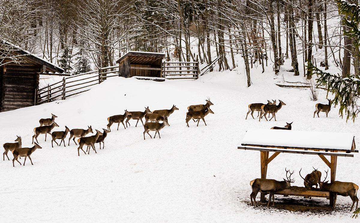 Roltwild in der Fütterung im Klausbachtal © Nina Schlesener