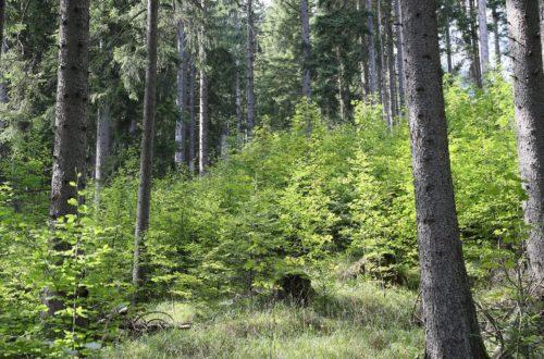 """Junger Bergmischwald. Wo bis vor rund 25 Jahren ausschließlich Fichten standen, wächst heute ein artenreicher Bergmischwald heran. Das Projekt """"Umbau von Fichtenreinbeständen zu Bergmischwäldern in der Pflegezone des Nationalparks Berchtesgaden"""" unter der Leitung von Nationalpark-Revierförster Hans Neubauer wurde als beispielhaftes Erfolgsprojekt ausgezeichnet."""
