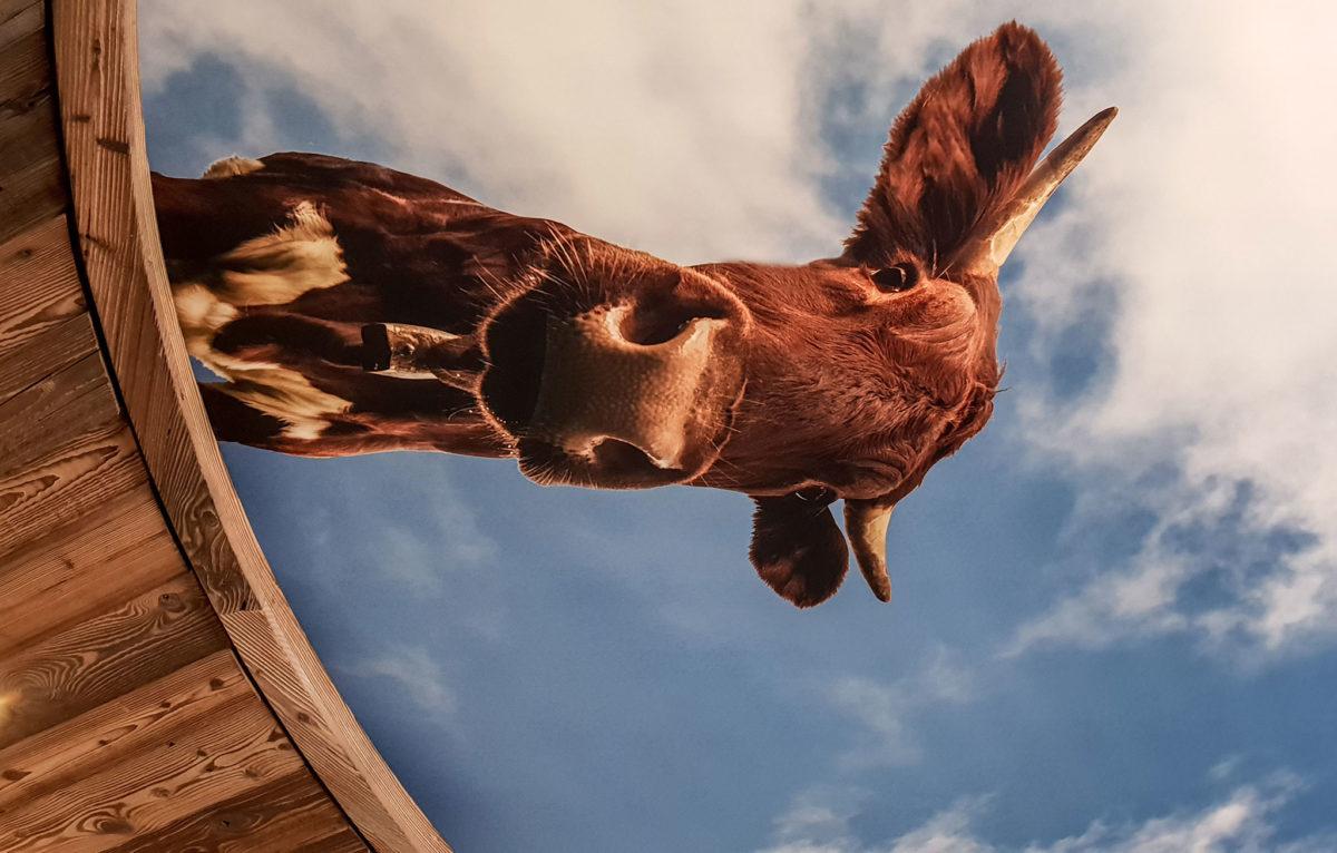 Diese Pinzgauer Kuh beobachtet Euch ;-)