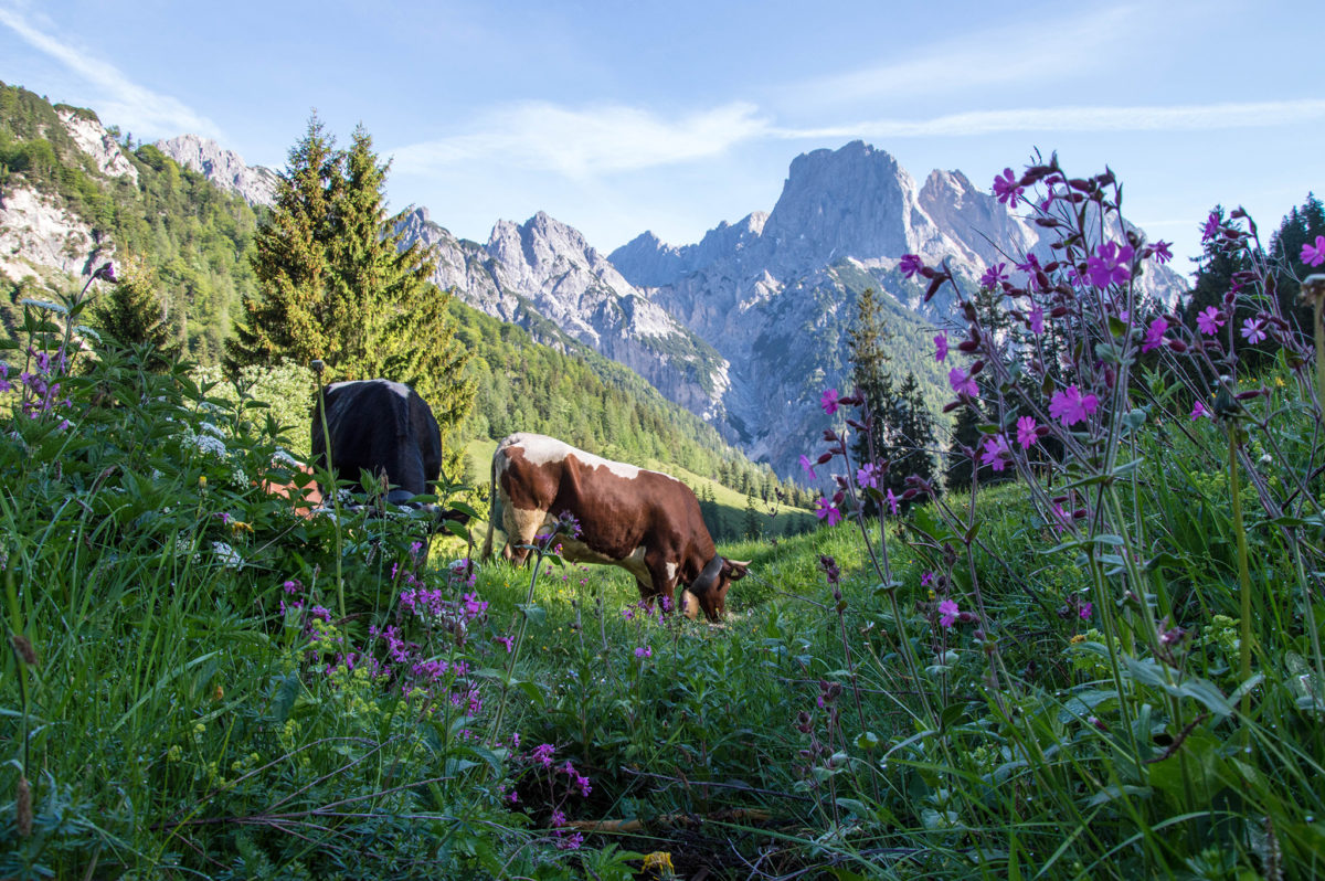 Die Kühe grasen auf der Bindalm
