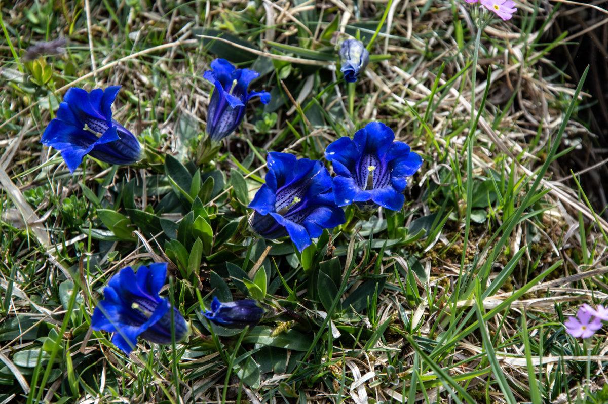 Blauer Enzian auf der Bindalm
