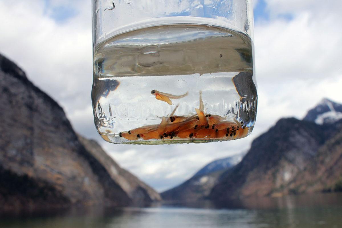 Erst drei Tage alt sind die jungen Seeforellen, die im Königssee ein neues zuhause gefunden haben.