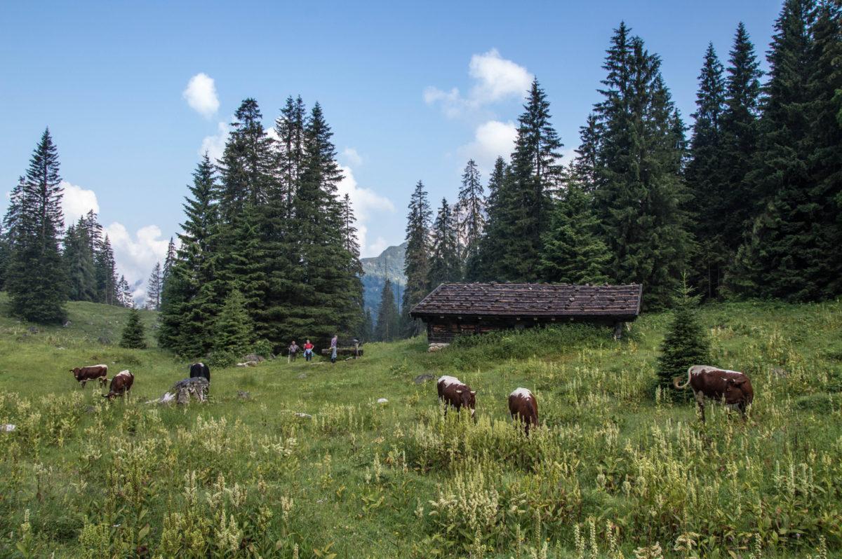 Unsere Pinzgauer Jungtiere grasen auf der Mittereisalm