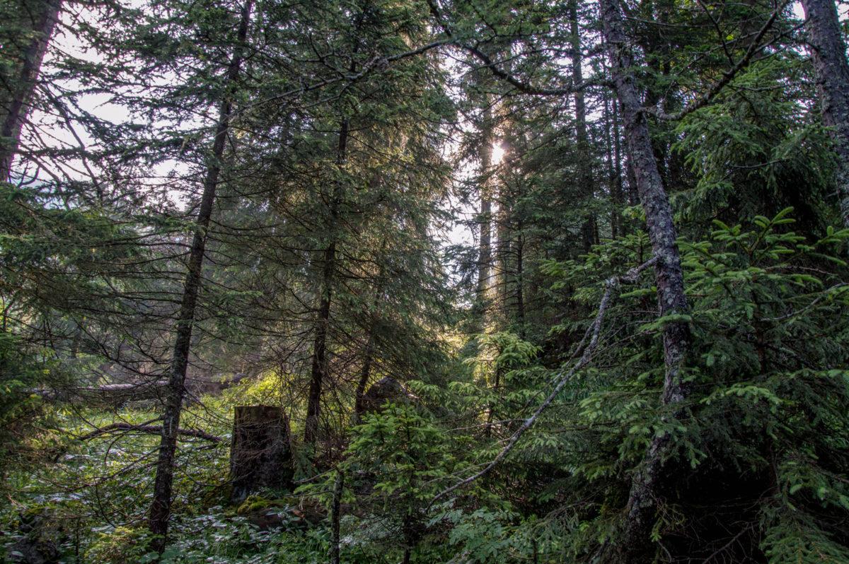 Im Wald zwischen Bind- und Mittereisalm
