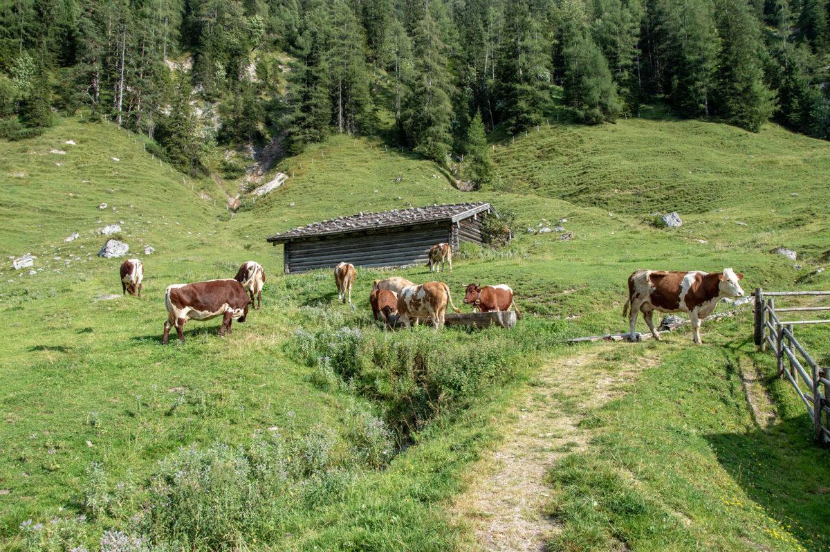 Kühe drängeln sich um den besten Platz am Wassertrog