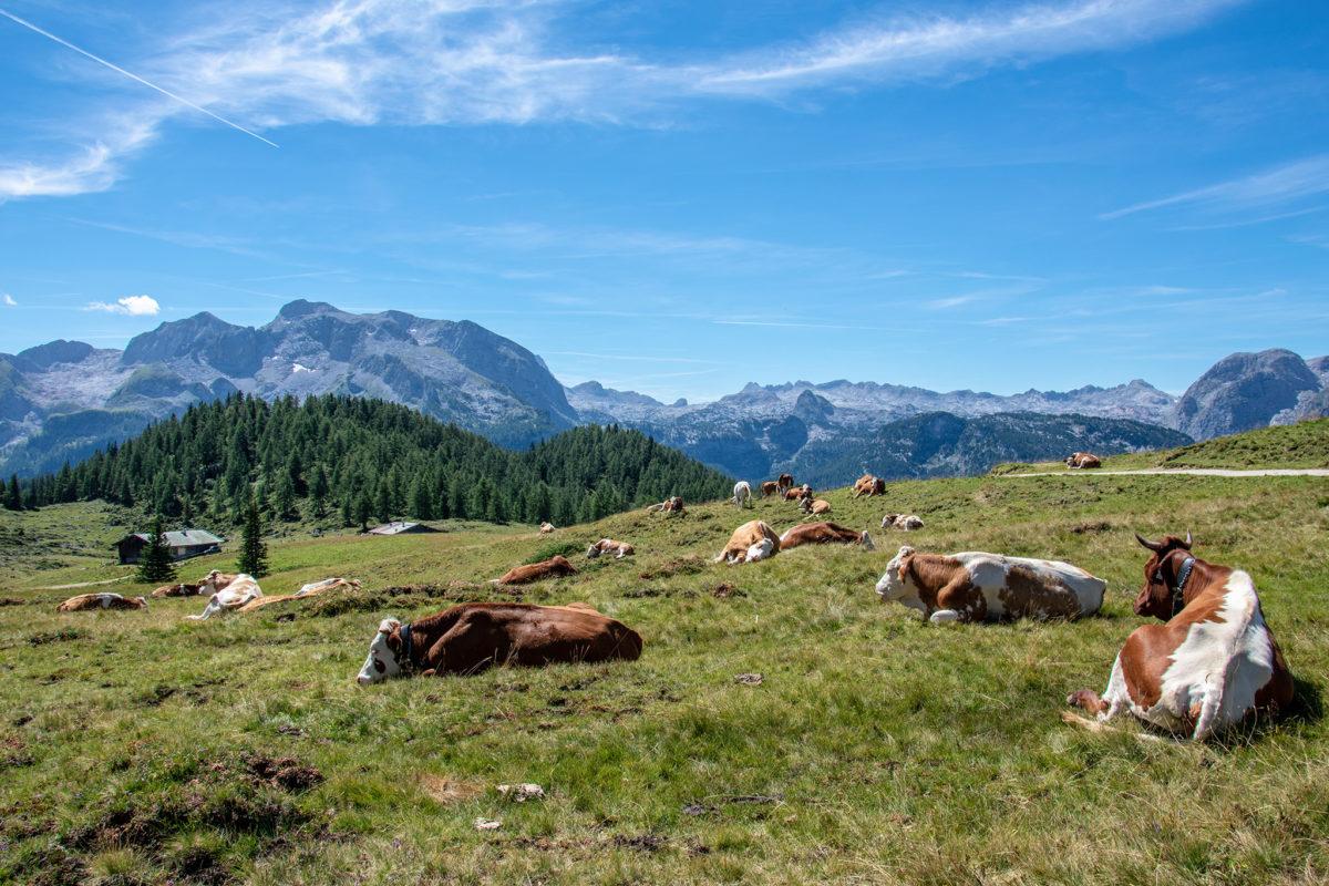 Die Gotzenalm: Paradies für Kühe