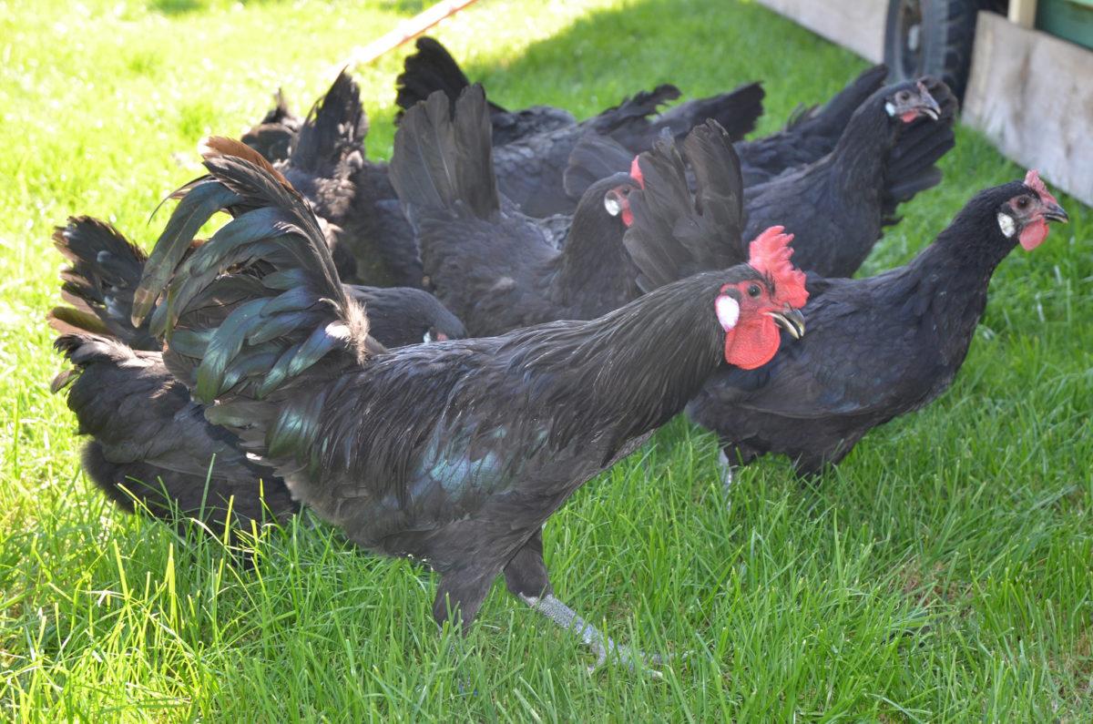 """Hahn und Hühner der vom Aussterben bedrohten Haustierrasse """"Augsburger Huhn"""""""
