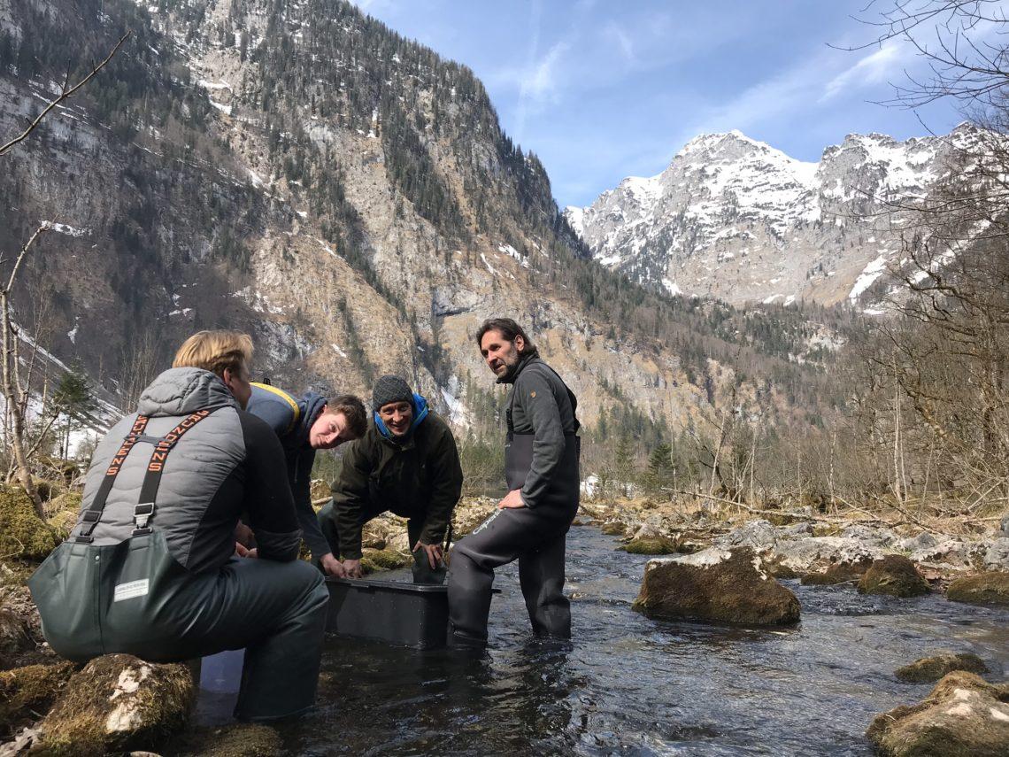 Seeforellen Wiederansiedlung im Königssee